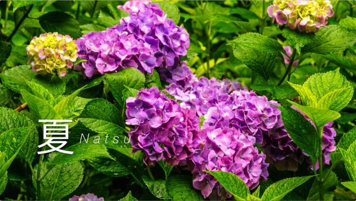 キャプチャ-1:ひばの里に咲く紫陽花
