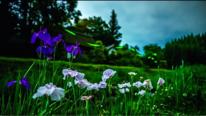 キャプチャ-2:ひばの里に咲く花菖蒲とササユリ、そしてそこに舞う蛍。