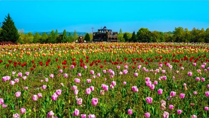 画面キャプチャ-3:備北花ピクニック。花の広場にはチューリップなど、各種の春の花々が咲き、カラフル。