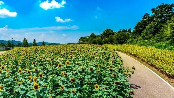 キャプチャ-4:真夏の元気がいっぱいの向日葵畑。